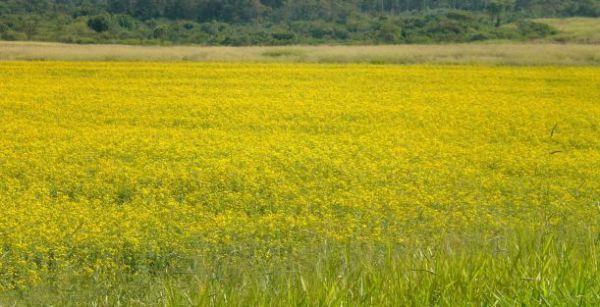 Crotalária - breviflora